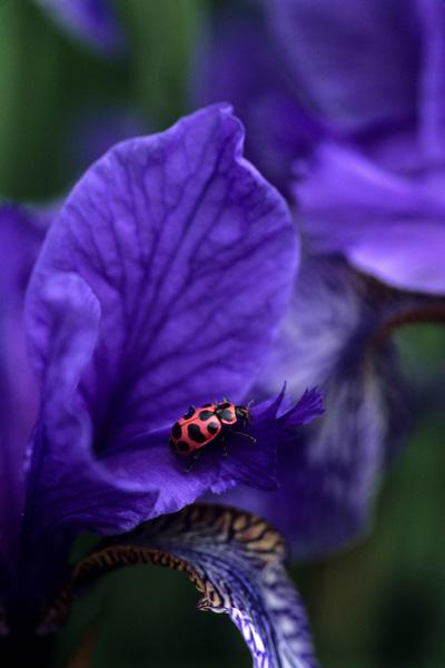 Coccinelle maculée sur fleur d'iris