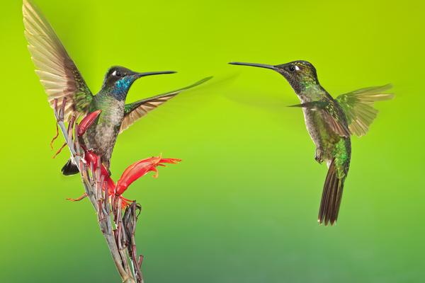Deux colibris de Rivoli mâles en vol