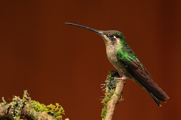 Colibri de Rivoli femelle sur fonds brun