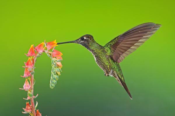 Colibri de Rivoli mâle en vol