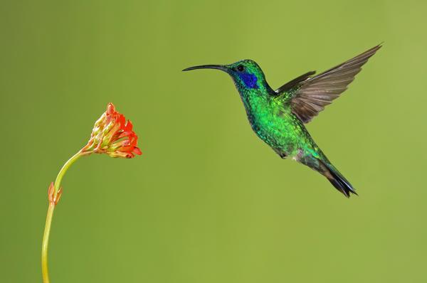 Colibri thalassin en vol 1