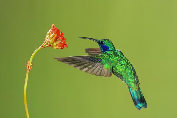 Colibri thalassin en vol 2