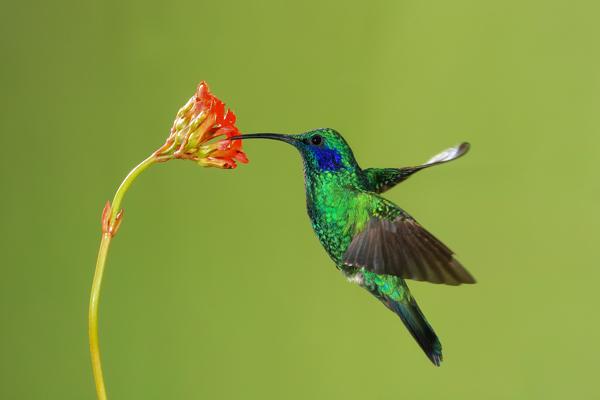 Colibri thalassin en vol 3