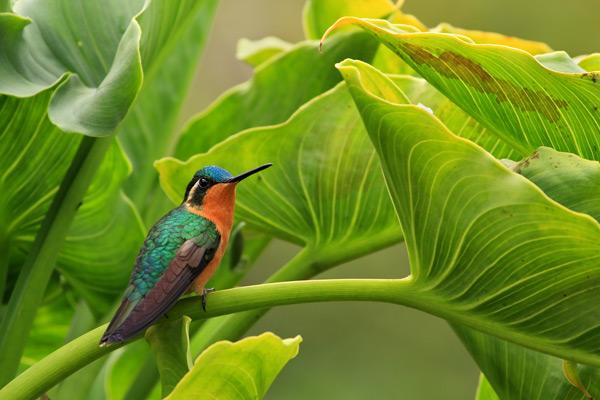 Colibri à ventre châtain femelle