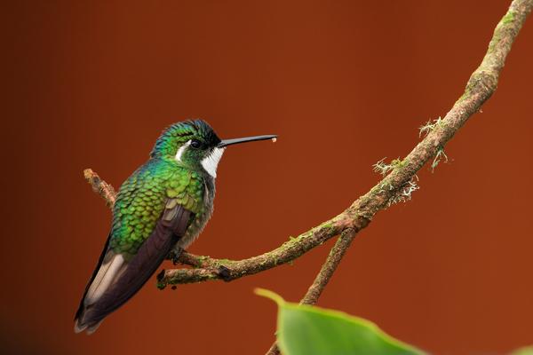 Colibri à ventre châtain mâle
