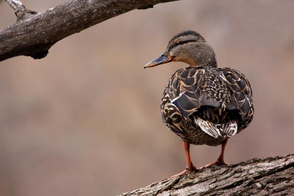 Canard colvert femelle perchée