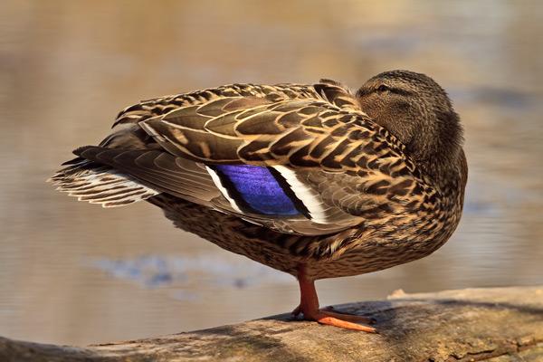 Canard colvert femelle somnolant