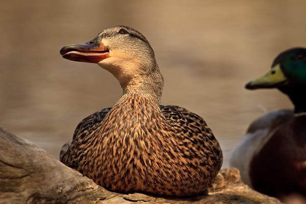 Canard colvert femelle curieuse