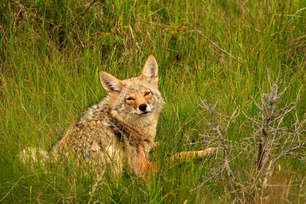 Coyote amical