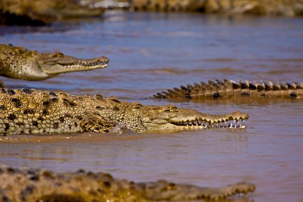 Crocodiles américains se jetant à l'eau 2