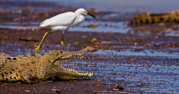 Crocodile américain et aigrette neigeuse