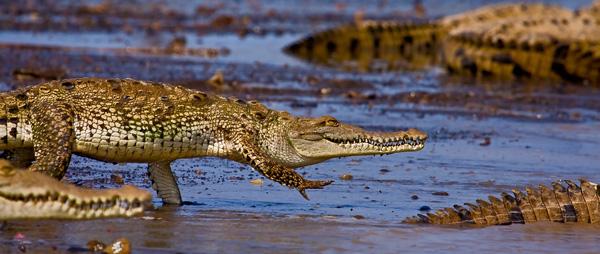 Crocodiles américains se jetant à l'eau 1