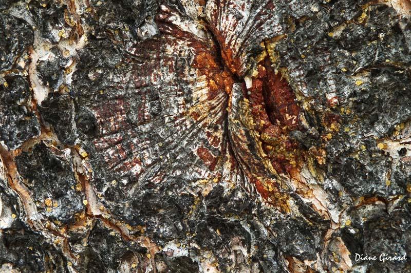 Rayons - Écorce de pin