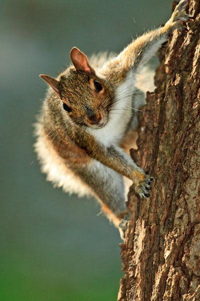 Écureuil gris à contrejour