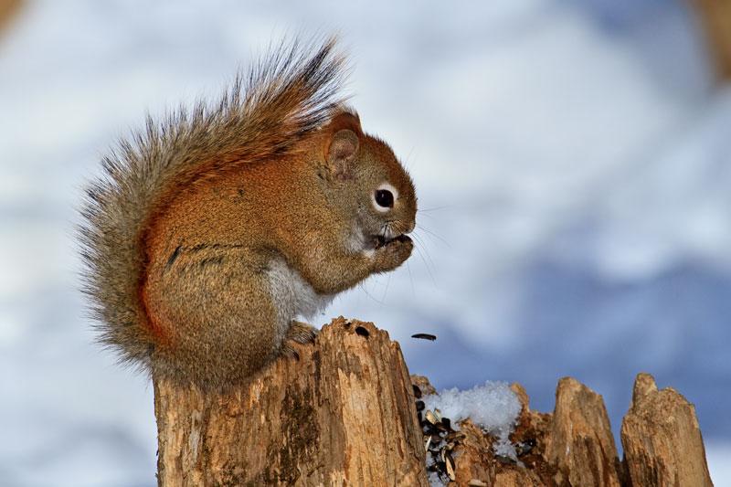 Écureuil roux mangeant des graines en hiver