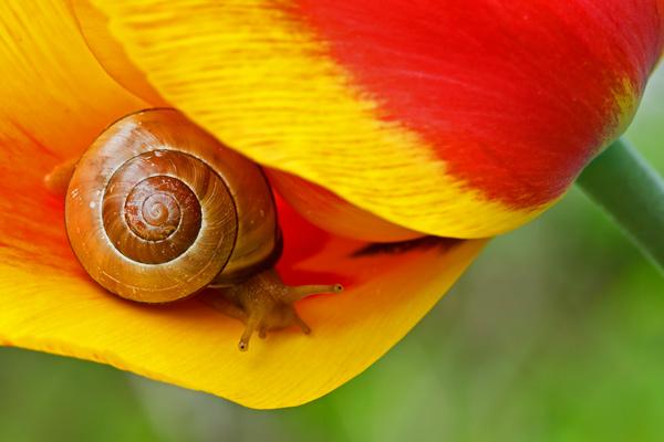 Escargot sur tulipe