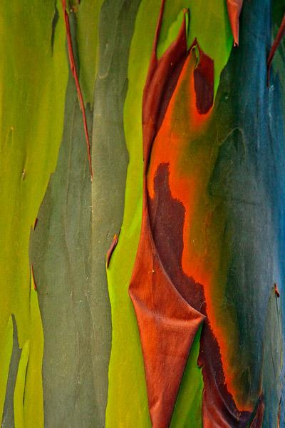Tronc d'eucalyptus arc-en-ciel – détail 1