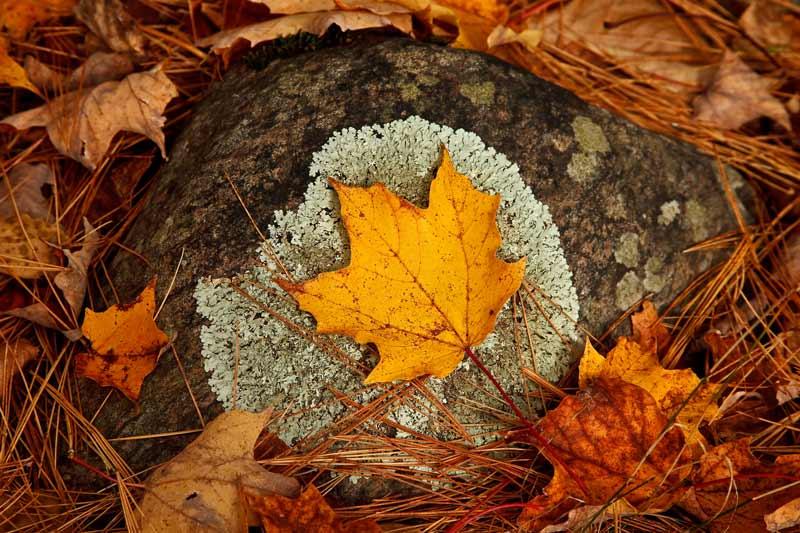 Feuille d'érable sur lichen