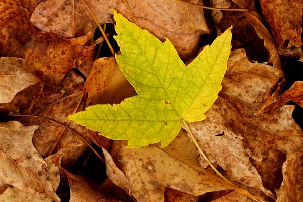 Feuille verte à l'automne