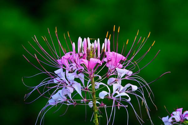 Fleur araignée
