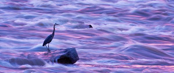 Grand héron dans les reflets du coucher du soleil