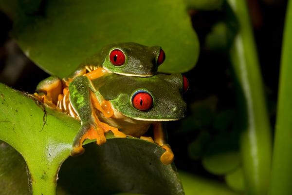 Grenouilles aux yeux rouges en accouplement