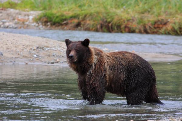 Grizzli après la pêche