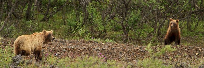 Grizzli femelle et son ourson