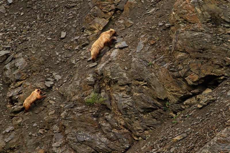 Grizzli femelle et  son ourson grimpant