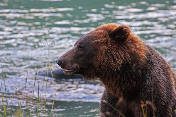 Grizzli en gros-plan