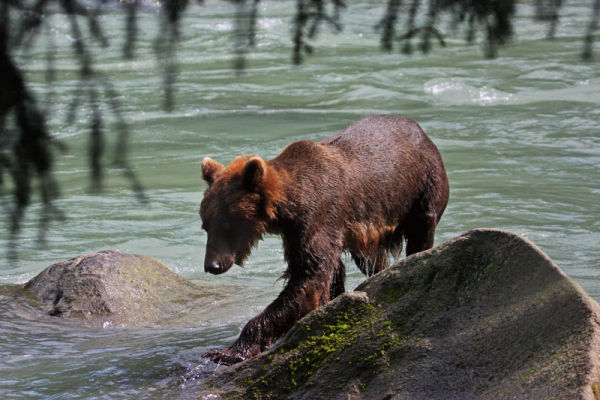 Grizzli marchant dans l'eau