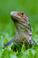 Iguane noir – Gros-plan