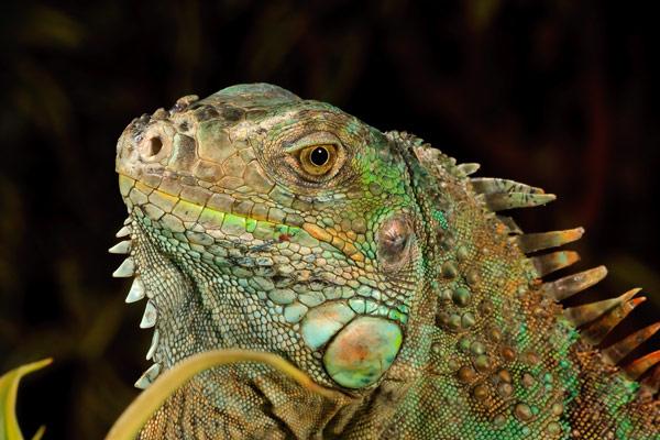 Iguane vert – Gros-plan