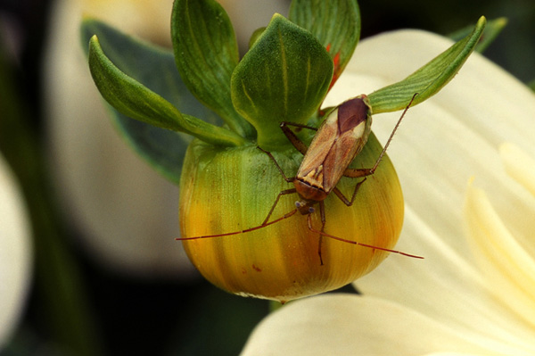 Insecte brun sur bourgeon vert
