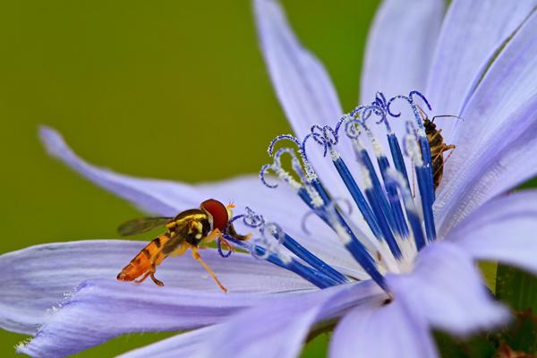 Insecte butinant une fleur de chicorée sauvage