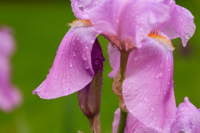 Iris en fleurs avec bourgeon