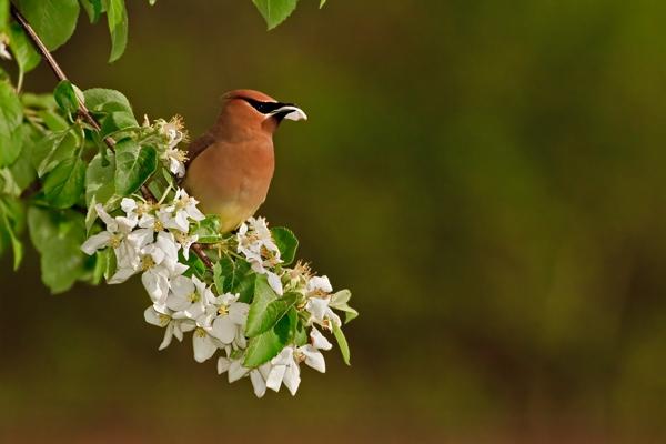Jaseur des cèdres mangeant des fleurs de pommier