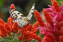 Leuconé sur fleurs rouges