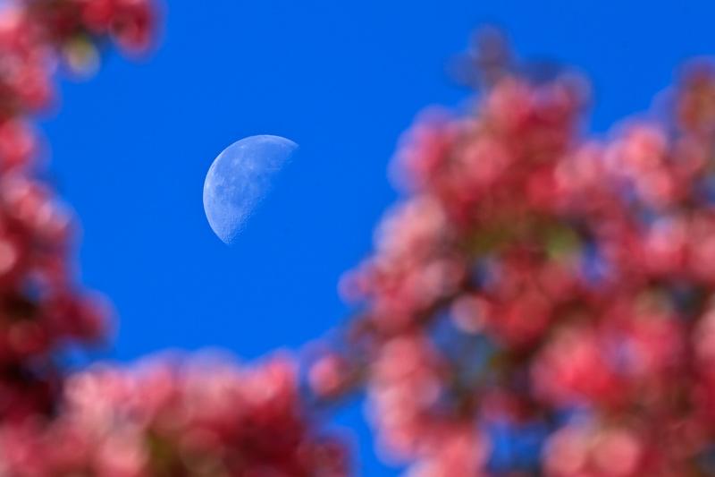 Lune et pommetier en fleurs