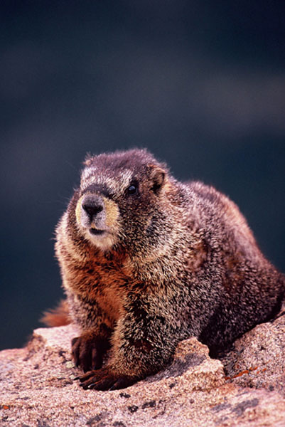 Marmotte à ventre jaune - Rocky Mountains NP, Colorado