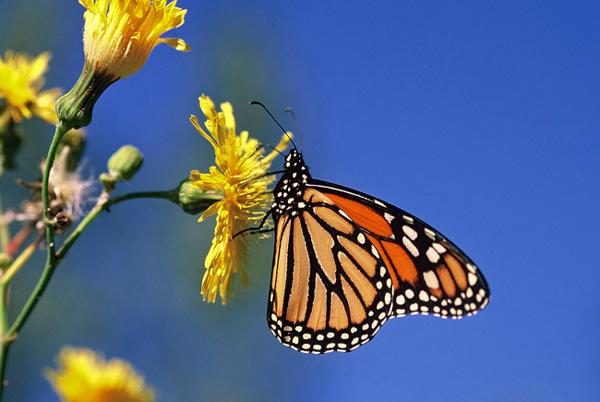 Monarque sur fleur de laiteron