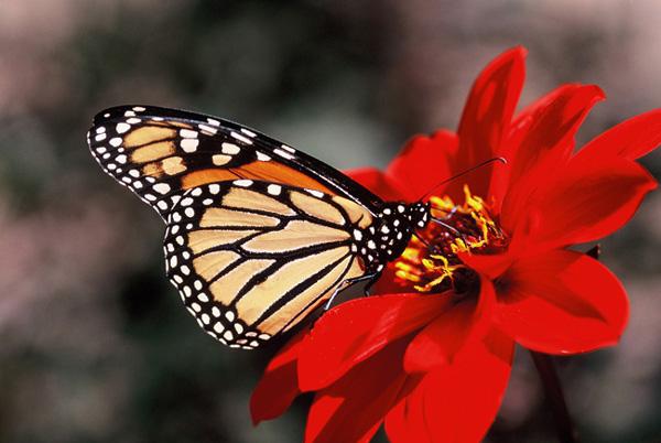 Monarque sur fleur rouge