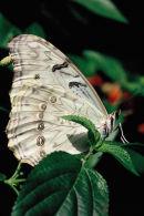 Morpho blanc sur feuille verte