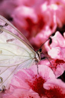Morpho blanc sur fleurs roses