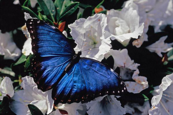 Morpho bleu sur fleurs blanches