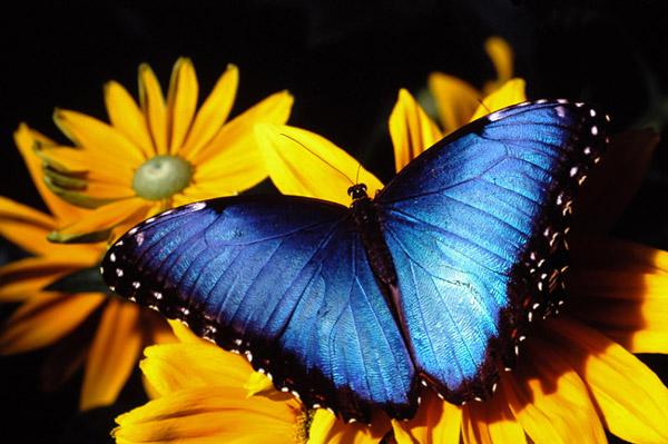 Morpho bleu sur fleurs jaunes