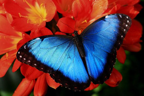 Morpho bleu sur clivia