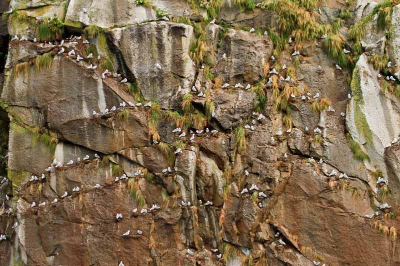 Colonie de mouettes tridactyles
