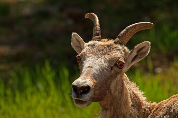 Mouflon d'Amérique femelle