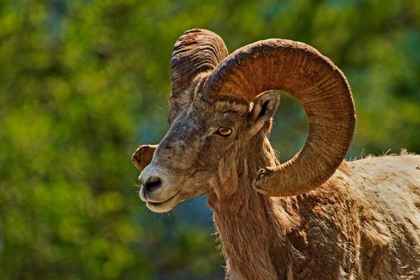 Mouflon d'Amérique mâle